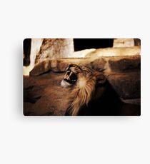 indian lion Canvas Print