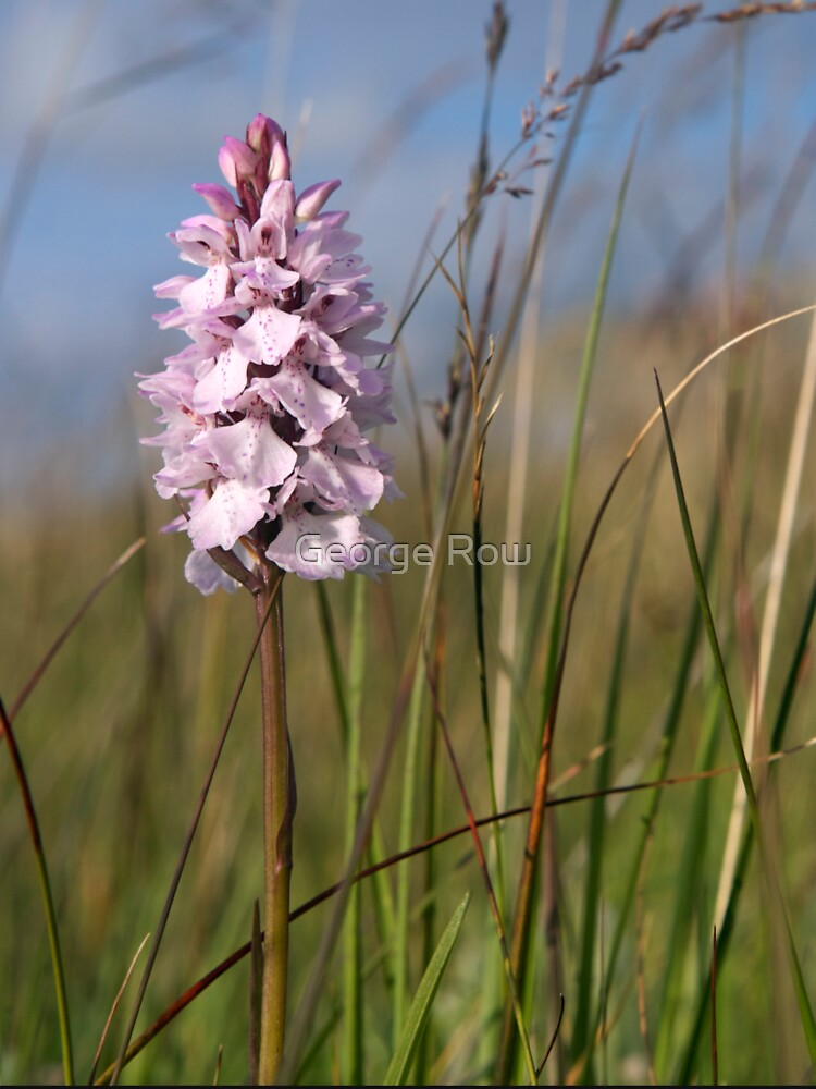 Spotted Orchid,  Portnoo, Co. Donegal by VeryIreland