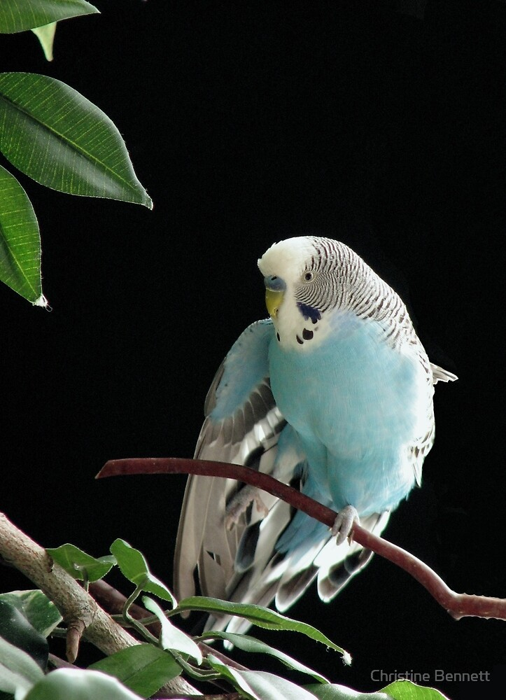 Blue Budgie - Mr. Jill Budgie by Christine Bennett