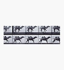 Muybridge - Camel in motion Photographic Print