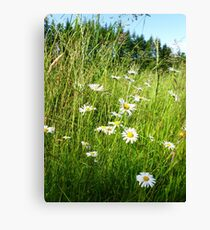 Wild Daisies and Grasses Canvas Print