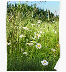 Wild Daisies and Grasses Poster