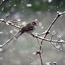 Snowy Spring Sparrow by WalnutHill