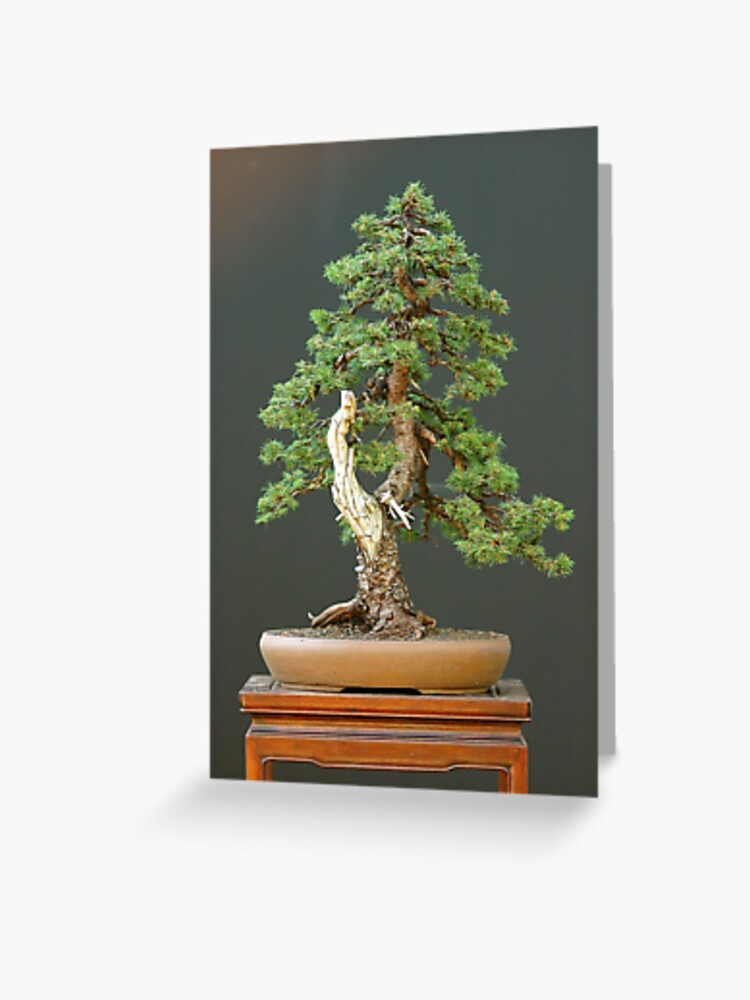 Evergreen Bonsai Greeting Card By Nobletree Redbubble