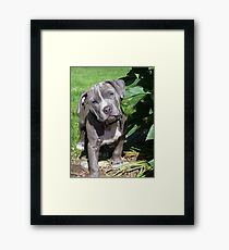 Gorgeous Baby Pitbull Puppy Dog (Head Tilted) Framed Print