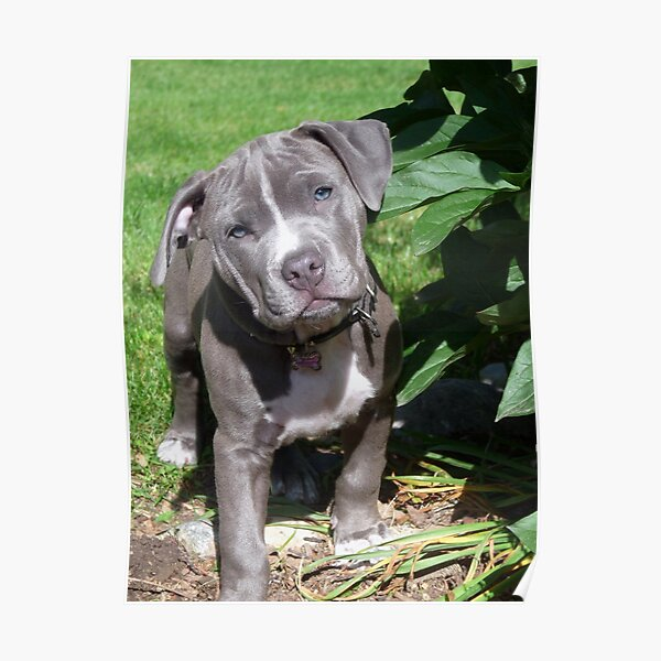 Gorgeous Baby Pitbull Puppy Dog (Head Tilted) Poster