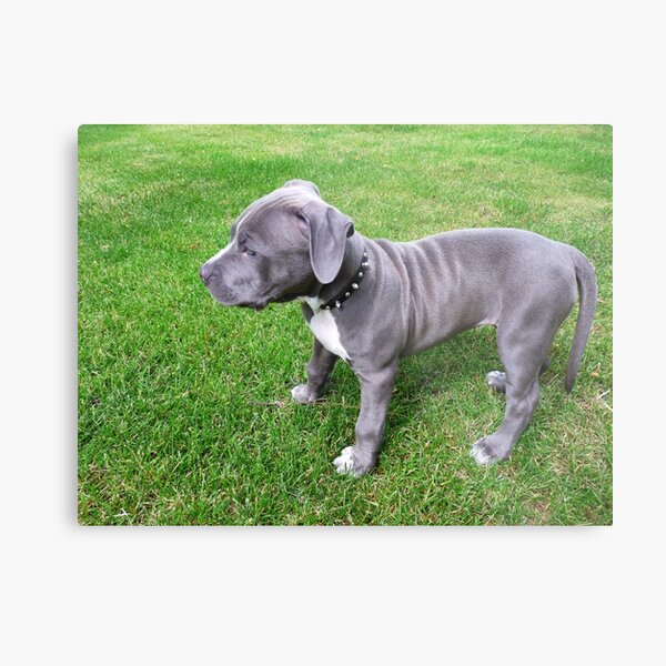 Gorgeous Baby, Blue Pit Bull Puppy Dog With Wrinkles Metal Print