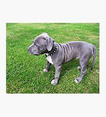 Herrliches Baby, blauer Pit Bull Puppy Dog mit Falten Fotodruck