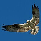 Osprey by Jim Cumming