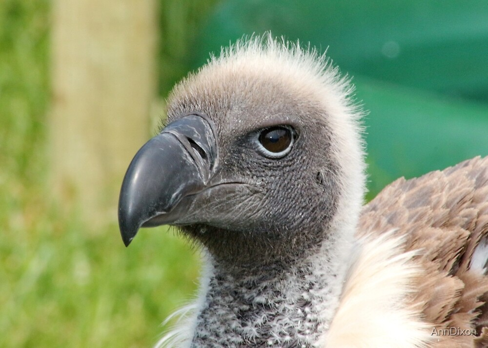 White-Backed Vulture by AnnDixon