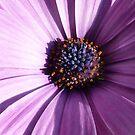 purple osteospermum Aida - closeup - macro by bubblehex08