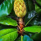 Magnolia Grandiflora by TonyCrehan