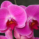 Pink Bloom by Sophia Covington