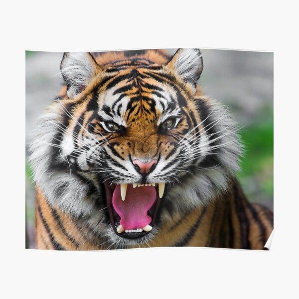 sumatran tiger angry face Poster