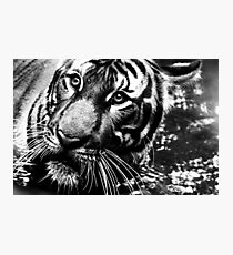 A Tiger's Potrait Photographic Print