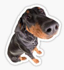 funny doberman pincher portrait Sticker