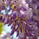 Wisteria Blooms  by PictureNZ
