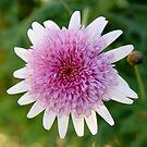 Chrysanthemum Bloom by Sophia Covington