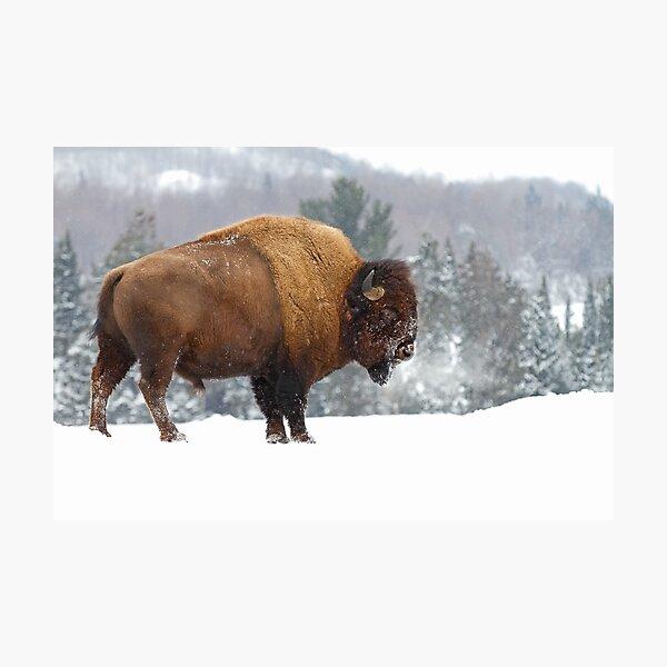 Buffalo in Winter Photographic Print