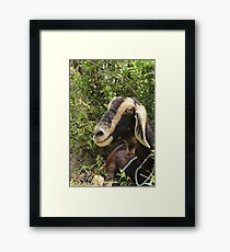 Brown and Black Goat Framed Print