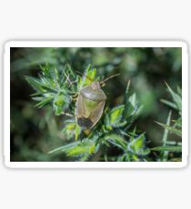 Gorse Shieldbug Sticker