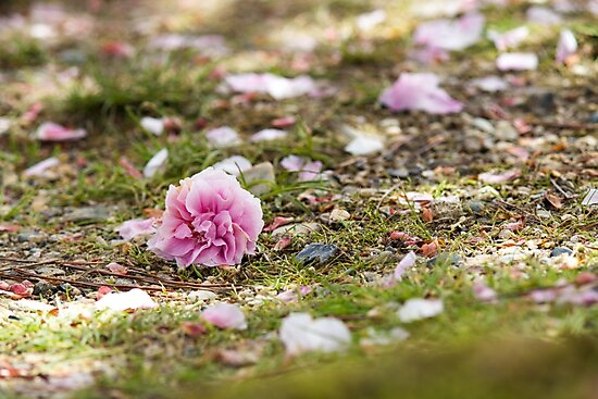 Cherry Blossoms by madewithtubo