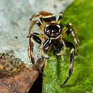 Two spot big jaw northern jumping spider-male by Normf