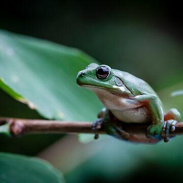 Australian green tree frog by Normf