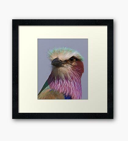 Lilac Breasted Roller Close Up  Framed Print