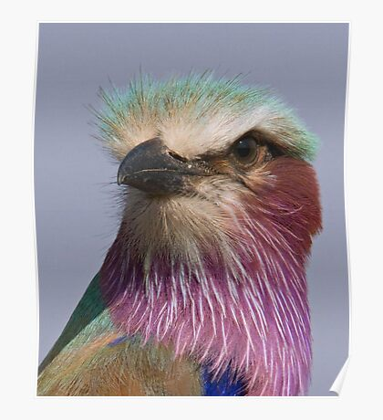 Lilac Breasted Roller Close Up  Poster