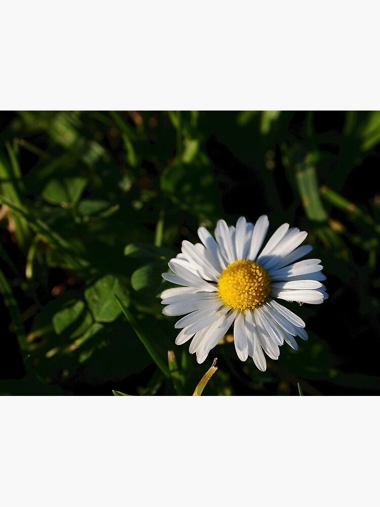 Chamomile Flower by douglasewelch
