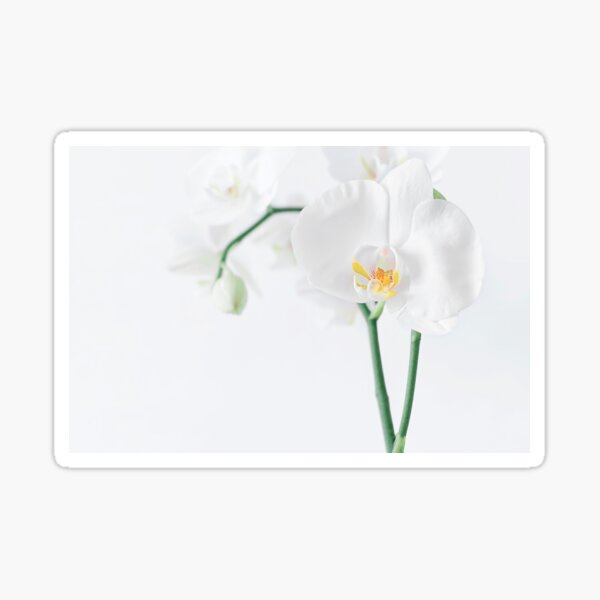 Orchidée Phalaenopsis Blanche Sticker