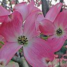 Dogwood in Spring by Patty Boyte