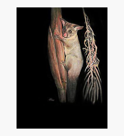 Possum  Photographic Print