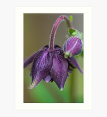 Aquilegia Vulgaris (Royal Purple) flower. Art Print