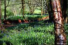 Bluebell Woods - Pamphill,Dorset by naturelover