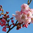 Cherry Blossom in the Blue Sky by Jo Nijenhuis