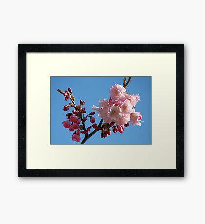 Cherry Blossom in the Blue Sky Framed Print