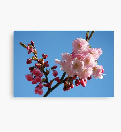 Cherry Blossom in the Blue Sky Canvas Print