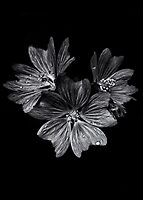 Backyard Flowers In Black And White 11 After The Storm by Brian Carson