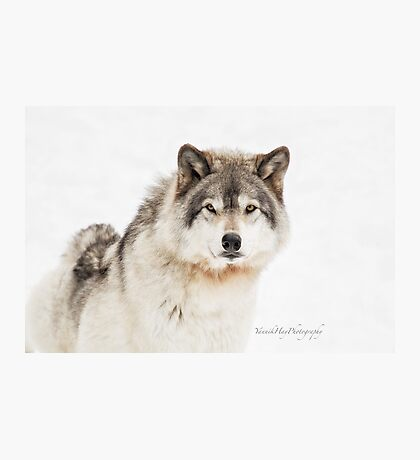 Timber Wolf in Snow Photographic Print