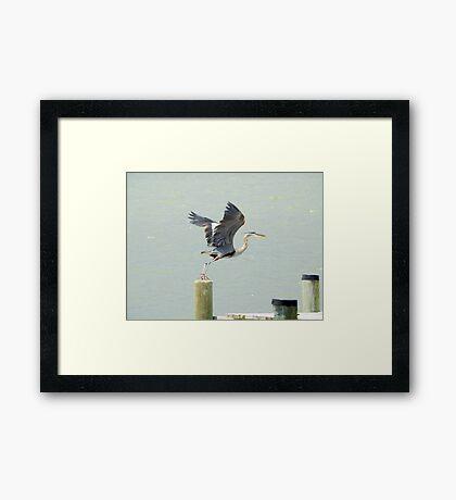 Heron takeoff Framed Print