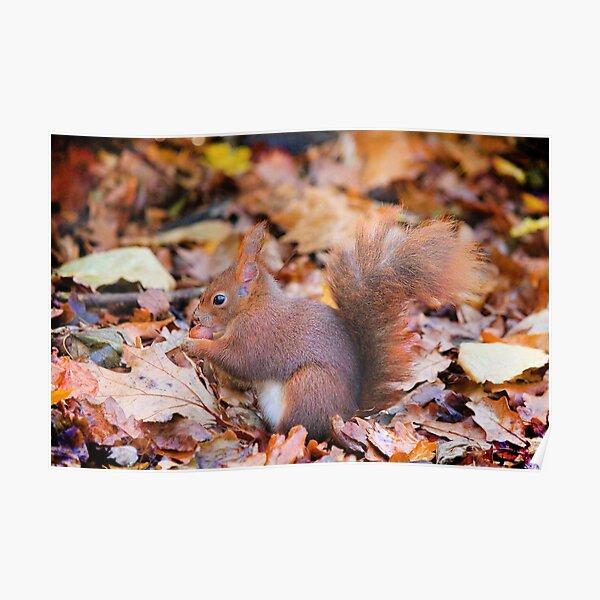 Red squirrel enjoying an autumn feast Poster