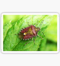 Hairy Shieldbug Sticker