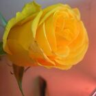 yellow rose by LisaBeth