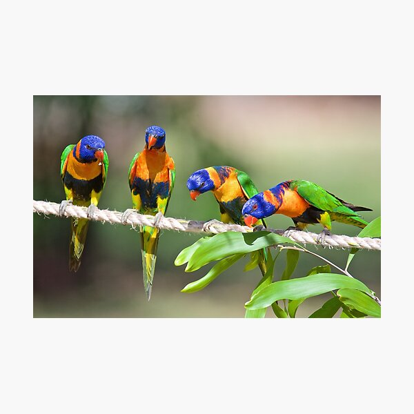 NT ~ PARROT ~ Red-collared Lorikeet D7kYAvhw by David Irwin 31012021 Photographic Print