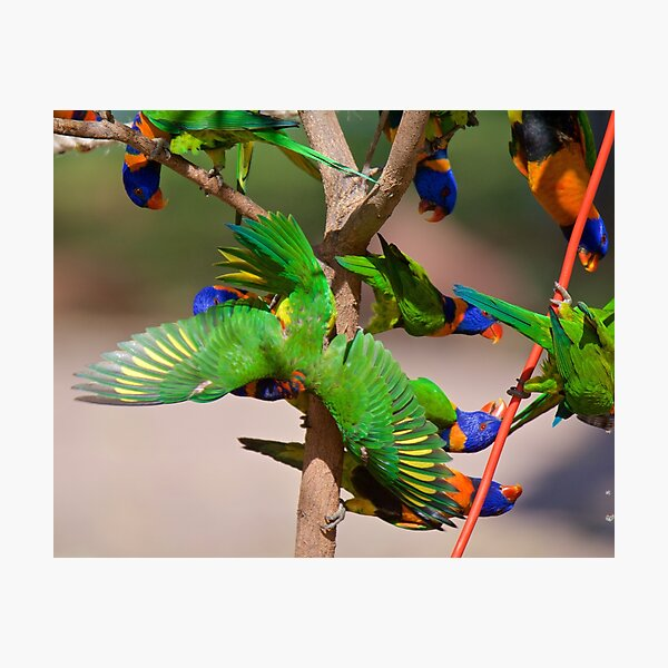 NT ~ PARROT ~ Red-collared Lorikeet 33biG3Mp by David Irwin 31012021 Photographic Print