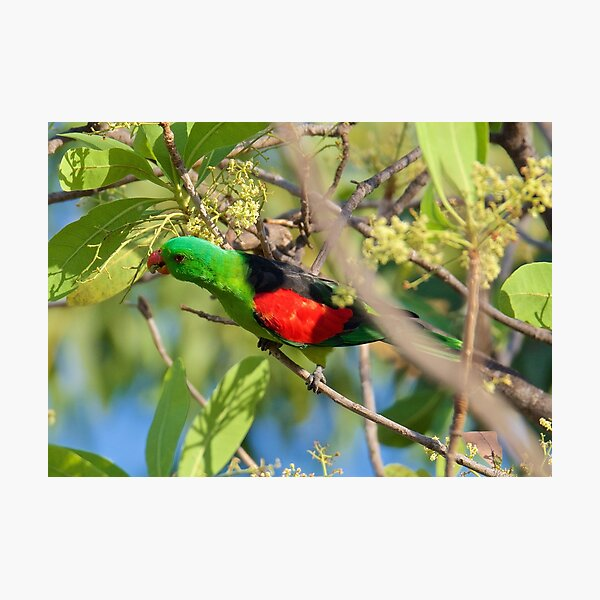 NT ~ PARROT ~  Red-winged Parrot PaoMNjm3 by David Irwin 31012021 Photographic Print