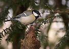 Great tit perched on a branch by Sara Sadler