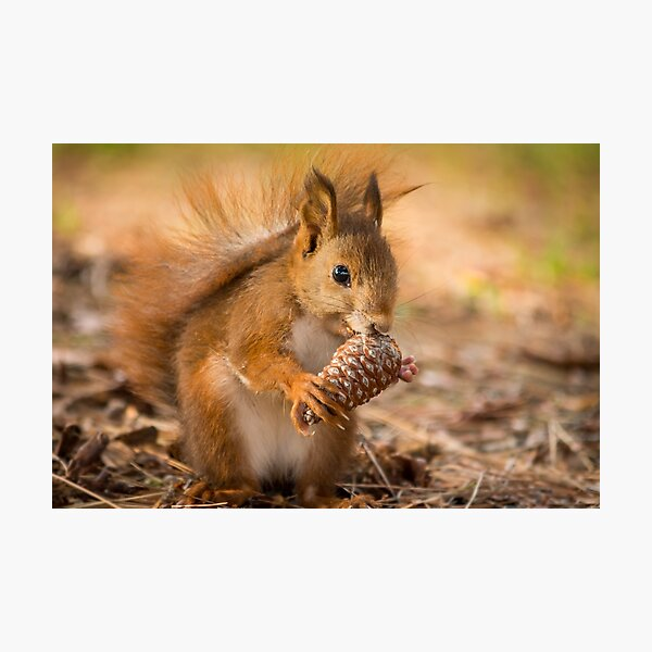 Spanish Red Squirrel in winter Photographic Print